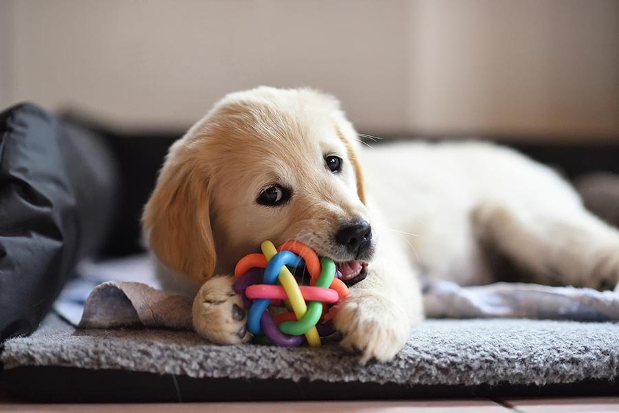 Puppy with chew toy - Pacific Union