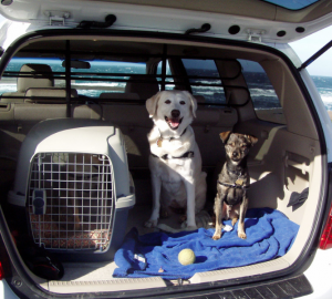 Dogs in the back of a car