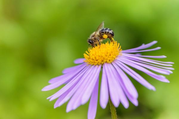 Honeybee on Aster flower